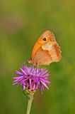 meadow brown Obrazy Stock