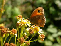Meadow Brown Stock Photography