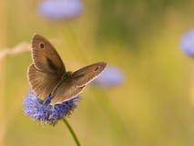 meadow brown Zdjęcia Royalty Free