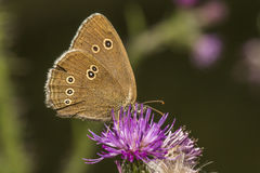 Meadow brown (Aphantopus hyperantus) Stock Image
