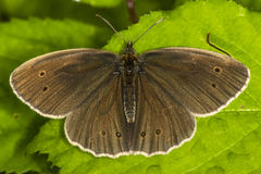 Meadow brown (Aphantopus hyperantus) Stock Photo