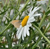 Meadow brown butterfly on a beautiful daisy. Close up of a meadow brown butterfly on beautiful daisy Royalty Free Stock Photos