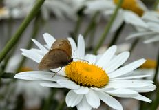 Meadow brown butterfly climbing on a beautiful daisy. Close up of a meadow brown butterfly climbing on beautiful daisy Royalty Free Stock Image
