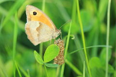 Meadow brown Royalty Free Stock Images