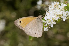 Meadow Brown butterfly from Europe Stock Images