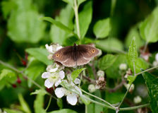 Meadow Brown  butterfly feeding on blossom Stock Image