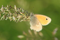 Meadow brown Royalty Free Stock Image