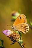 Meadow brown butterfly on Knapweed Royalty Free Stock Photos