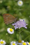 Meadow Brown butterfly, Maniola jurtina Stock Images