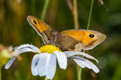 Meadow Brown butterfly (Maniola jurtina) Royalty Free Stock Images