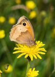 Meadow Brown butterfly (Maniola jurtina) Royalty Free Stock Photos
