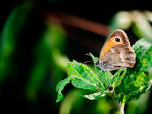 Meadow brown butterfly - Maniola jurtina Royalty Free Stock Photography