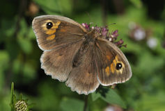 Meadow Brown Butterfly Royalty Free Stock Photos