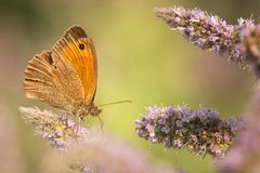 Meadow brown butterfly Stock Image