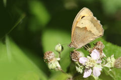 A Meadow Brown Butterfly Maniola jurtina nectaring on a bramble flower. Stock Photo