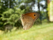 Meadow Brown Butterfly Stock Images