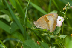 Meadow brown butterfly resting in shadows of summer herbs Stock Photos