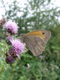 Meadow Brown Butterfly On Thistle Flower. A meadow brown butterfly feeds on purple colored thistle flowers Royalty Free Stock Photography