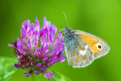 Meadow brown on a flower Royalty Free Stock Photography