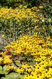 Meadow of Brown-eyed Susans in Garden Stock Photos
