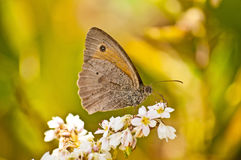 Meadow Brown, Maniola jurtina Stock Photos