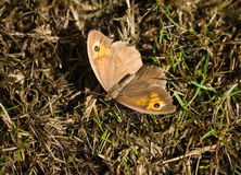 Meadow Brown Maniola jurtina butterfly Stock Photo