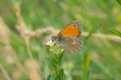 Meadow brown Maniola jurtina butterfly sitting on Wild Stellaria media weed plant. In flowering time and sucking nectar stock photography