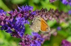 Meadow brown Maniola jurtina butterfly sucking nectar. On a wild sage flower stock images