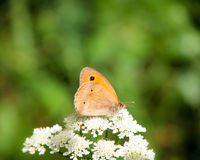 Meadow brown, maniola jurtina Stock Image