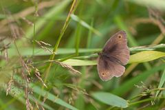 Meadow Brown Royalty Free Stock Photos
