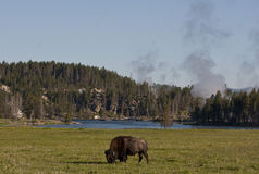 Meadow buffalo. This is a buffalo close to canyon village in yellowstone national park with hot springs and river in the back ground stock images