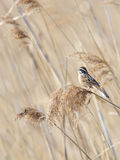 Meadow bunting Royalty Free Stock Images