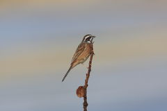 Meadow Bunting Stock Photography