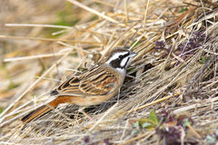 Meadow bunting Royalty Free Stock Photos