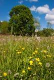 Meadow buttercup. On a summer meadow Stock Photos