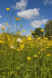 Meadow buttercup. On a summer meadow Royalty Free Stock Photo