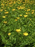 Meadow buttercup Stock Image