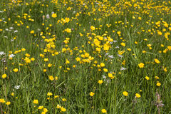 Meadow Buttercup Royalty Free Stock Photography