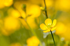 Meadow buttercup flowers in full bloom Royalty Free Stock Images