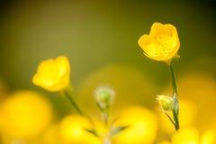 Meadow buttercup flowers in full bloom Stock Image