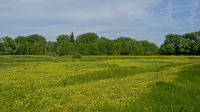 Meadow  with buttercup flowers and trees in Flanders Royalty Free Stock Photos