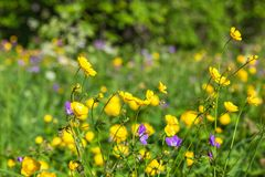 Meadow buttercup Royalty Free Stock Photos