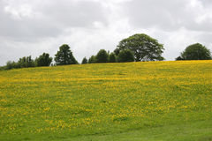 Meadow of buttercups Stock Images