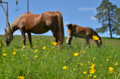 Meadow With Buttercups and Brown Horses Royalty Free Stock Photos