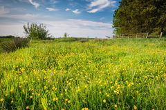 Meadow of Buttercups Royalty Free Stock Photography