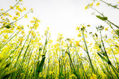 Meadow buttercups reaching upwards Stock Images