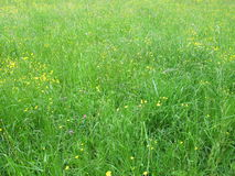 Meadow with buttercups Royalty Free Stock Photography