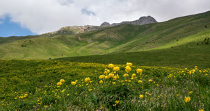 Meadow of buttercups in spring Royalty Free Stock Images