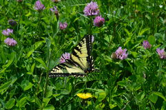 Meadow butterfly. This is a striking yellow and black butterfly that stands out against the vibrant green of a patch of clover Royalty Free Stock Photo