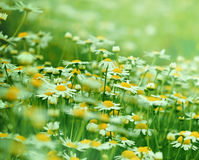 Meadow with camomile. Camomile - daisy in early spring in meadow Royalty Free Stock Photography